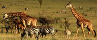 Visitors to the Safari camp will see Giraffes, Zebras and more