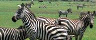 Zebras at Mahali Mzuri