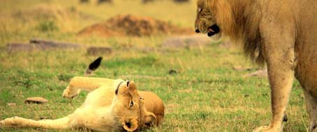 Mahali Mzuri lion and lioness