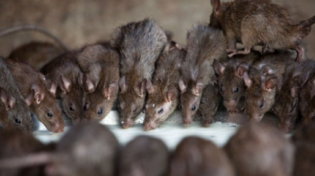 Rats ate furniture in Buhari's office