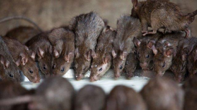 Rats ate furniture in Buhari's office