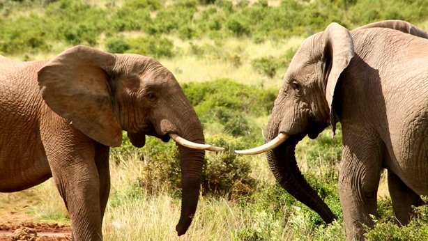 Elephants are going to fight South Africa.jpg