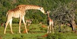 Kariega Game Reserve Giraffe and Baby.jpg