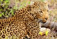 Kruger National Park Leopard South Africa.jpg
