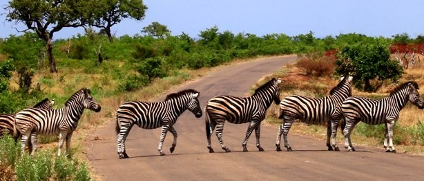 Zebras in Kruger National Park South Africa.jpg