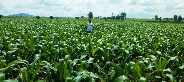 A Farmcrowdy Maize farm