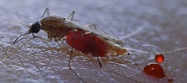 A mosquito after taking a blood meal